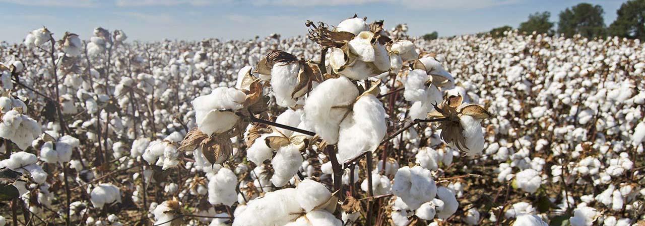 Production du Coton