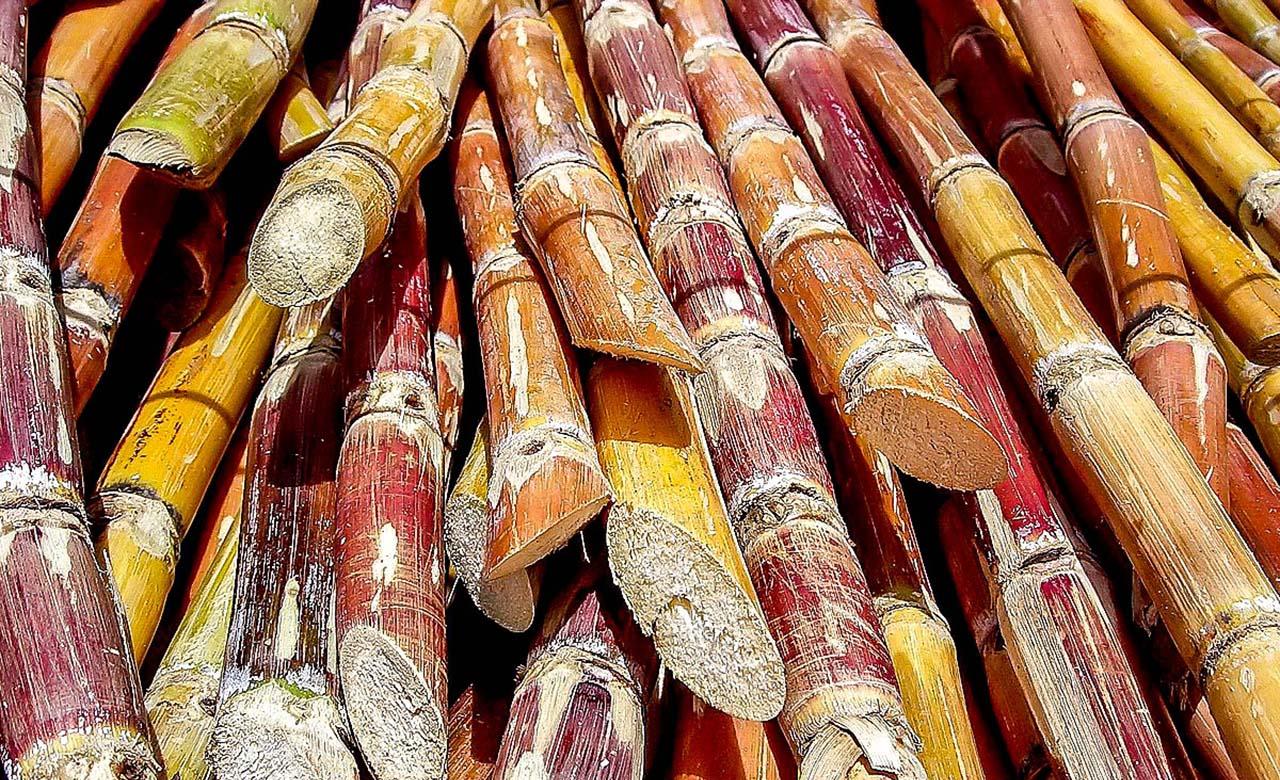 Champ de canne à sucre de Bérégadougou