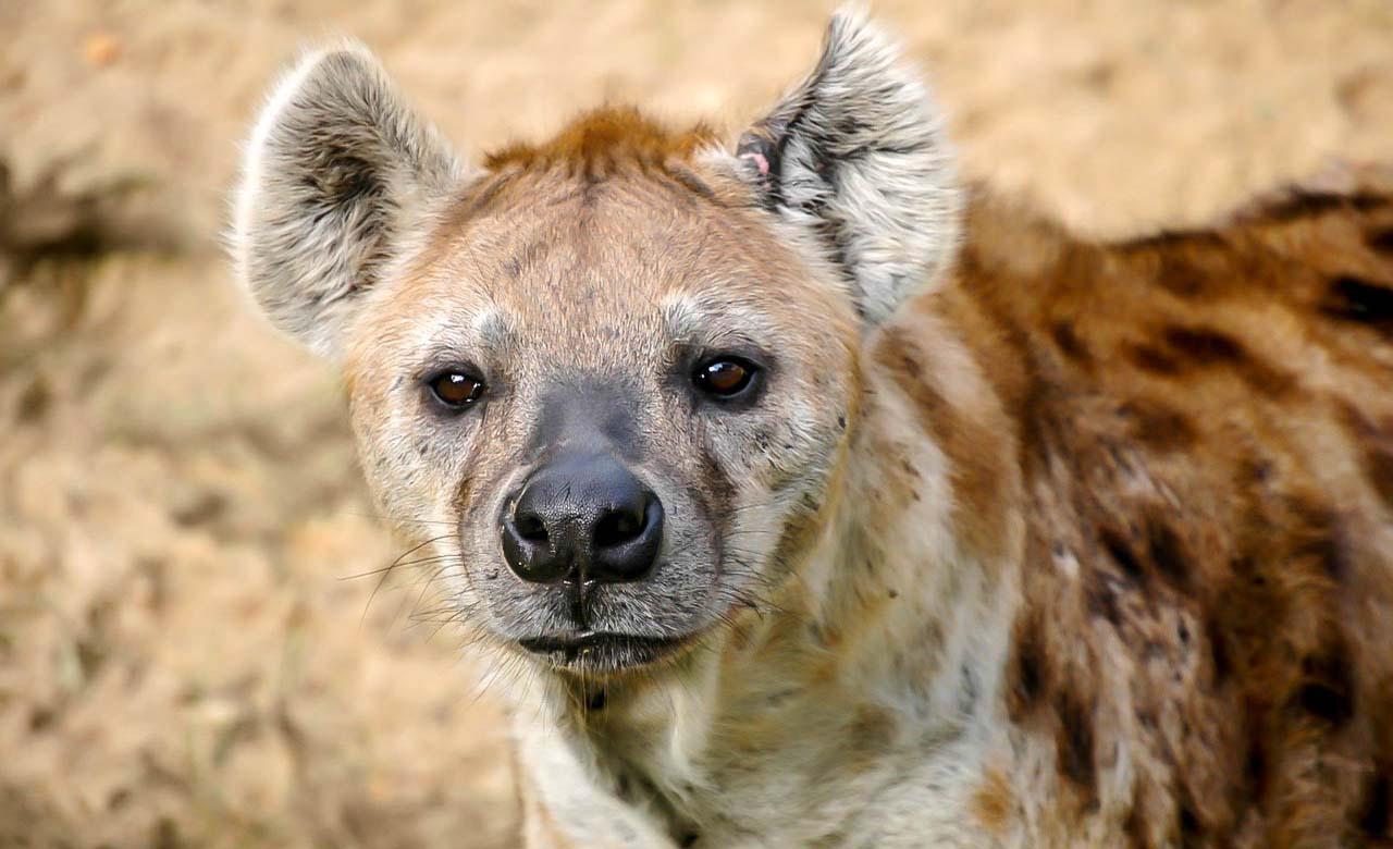 Hyene du parc