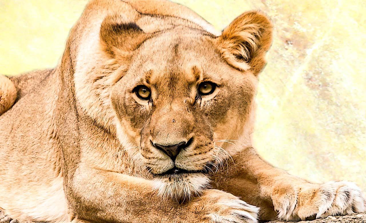 Lionne au burkina Faso
